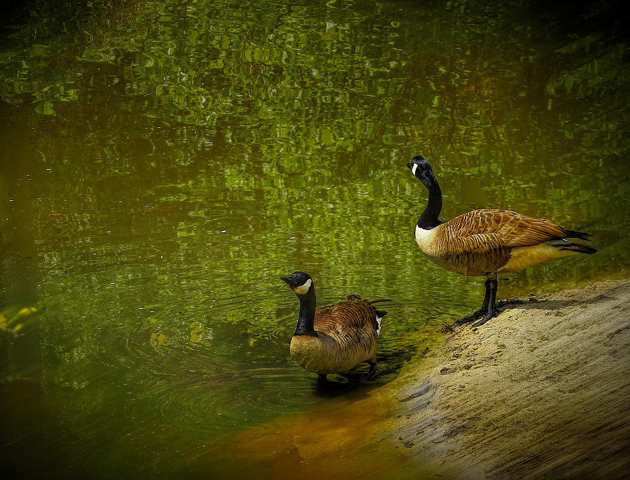 Ducks Photograph - Look Before You Leap by Dave Bosse