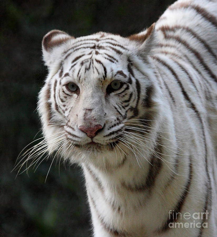 White Tiger Photograph - Look Into My Eyes  by Ruth Jolly