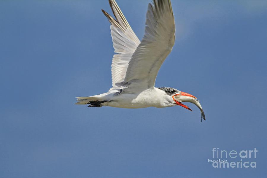 Tern Photograph - Look What I Got by Deborah Benoit