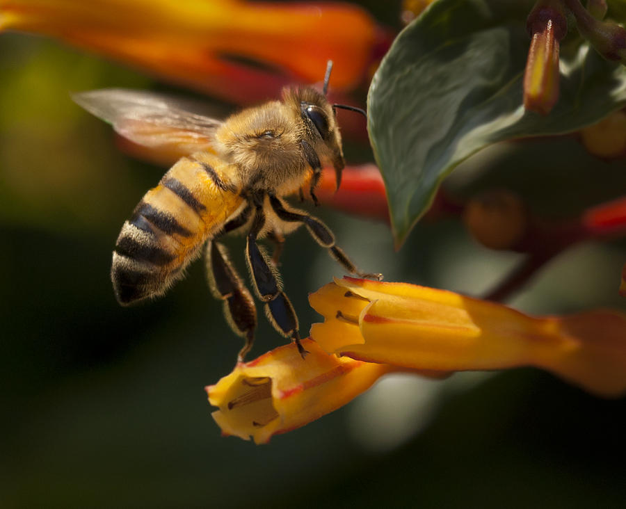 Honey Bee Photograph - Lookin For Breakfast by Jennifer