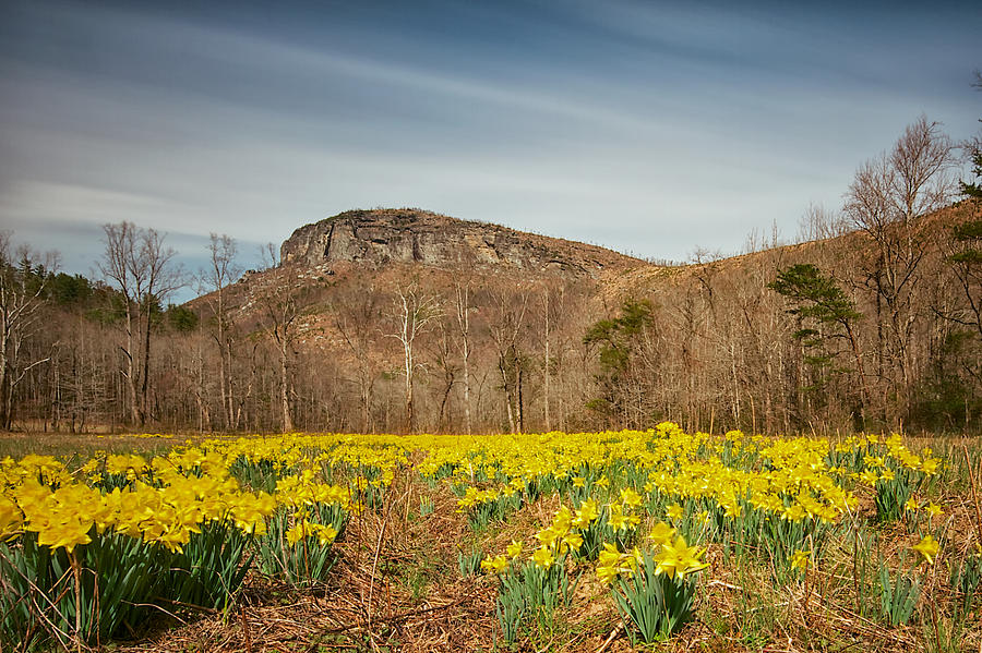 Looking at Shortoff Mountain through the Daffodils by Mark Steven Houser