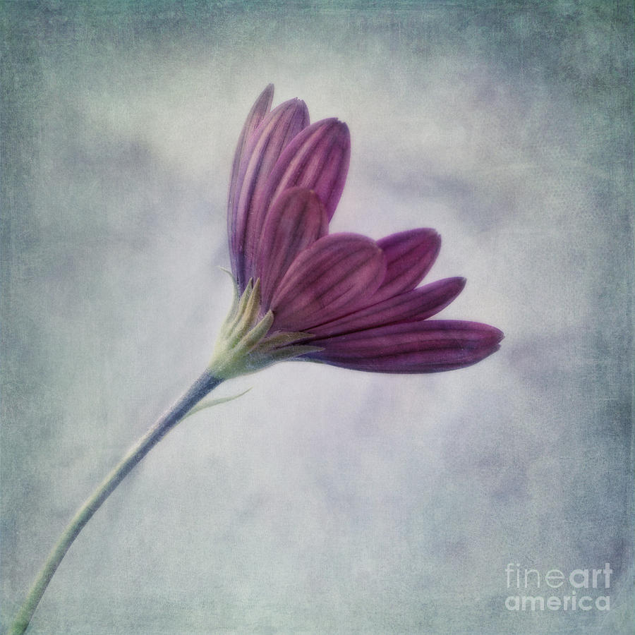 Daisy Photograph - Looking For You by Priska Wettstein