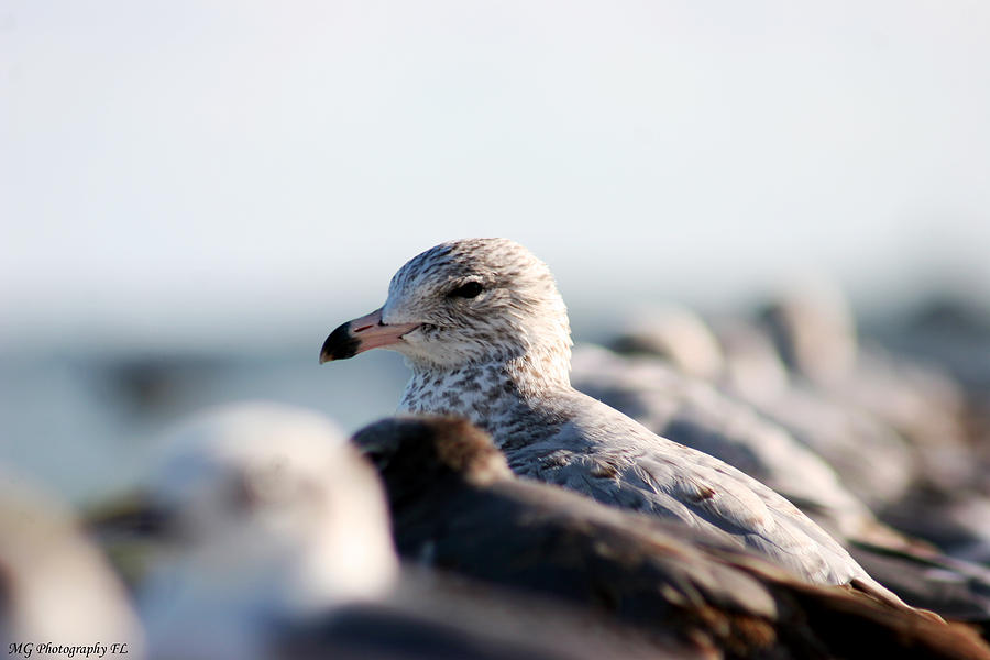 Seagull Photograph - Looking Seagull by Marty Gayler