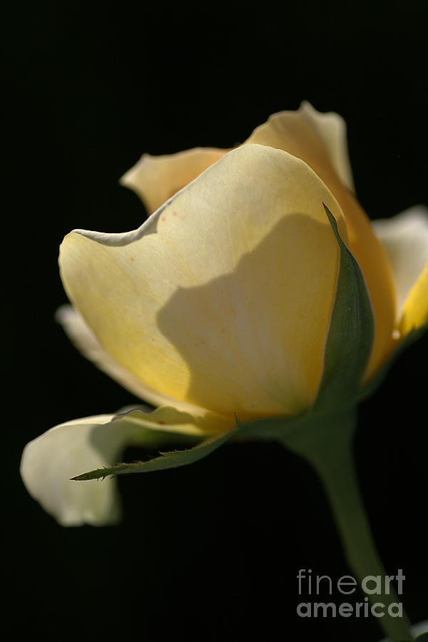 Rose Photograph - Looking Through by Joy Watson