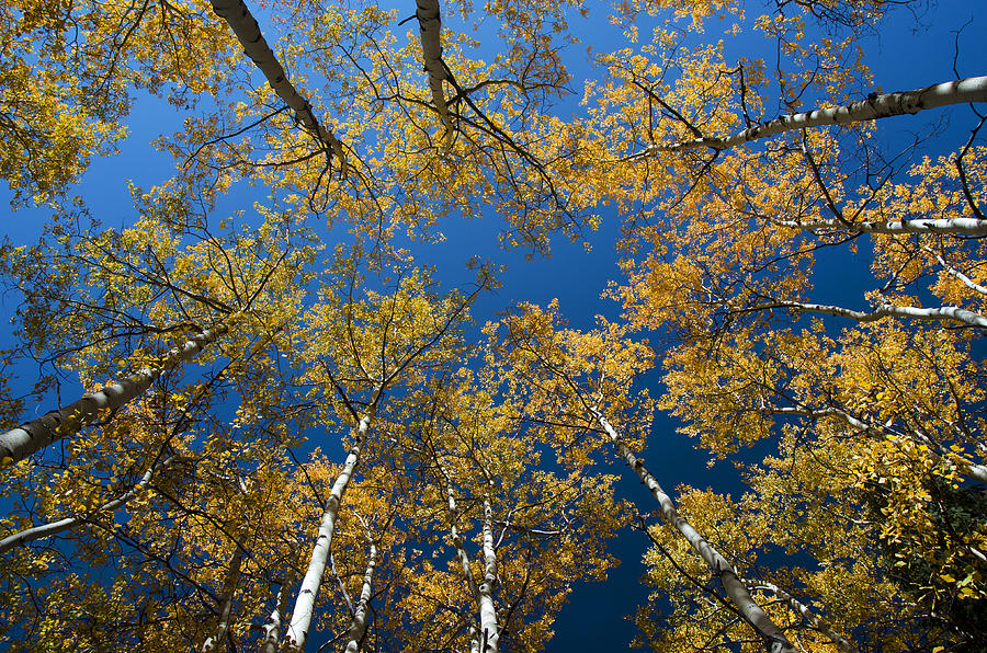 Looking Up At Fall Aspen Trees Photograph By Misty Sprouse