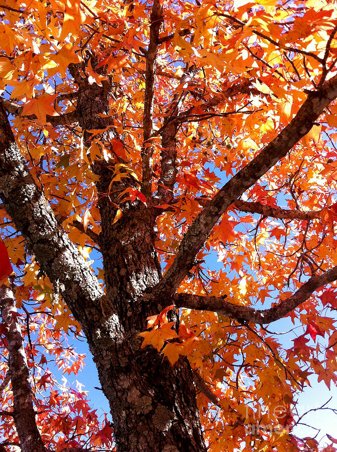 Autumn Photograph - Looking Up by Barbara Shallue