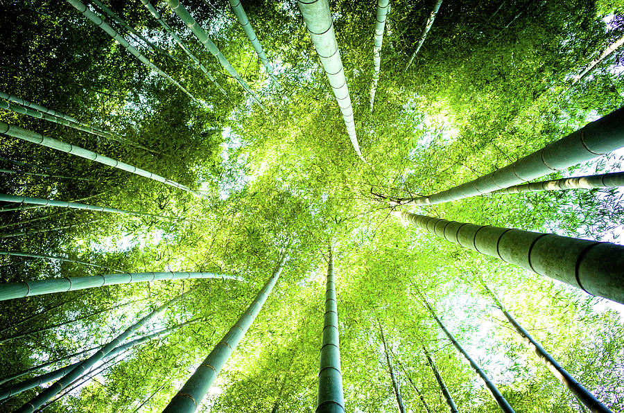 Looking Up In The Bamboo Grove Photograph by Marser