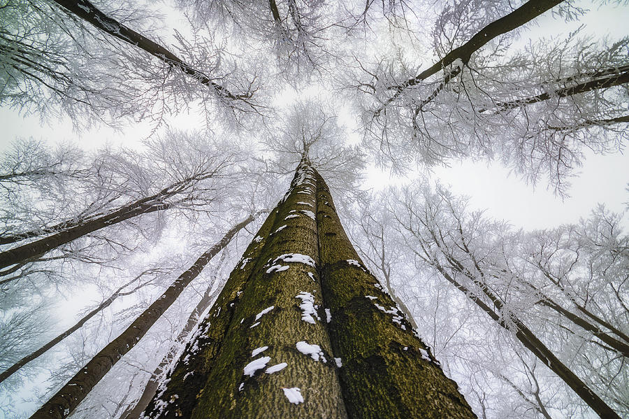 Beech Photograph - Looking Up by Tom Pavlasek