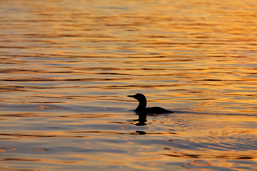 Loon Photograph - Loon At Sunset 6958 by Jeff Grabert