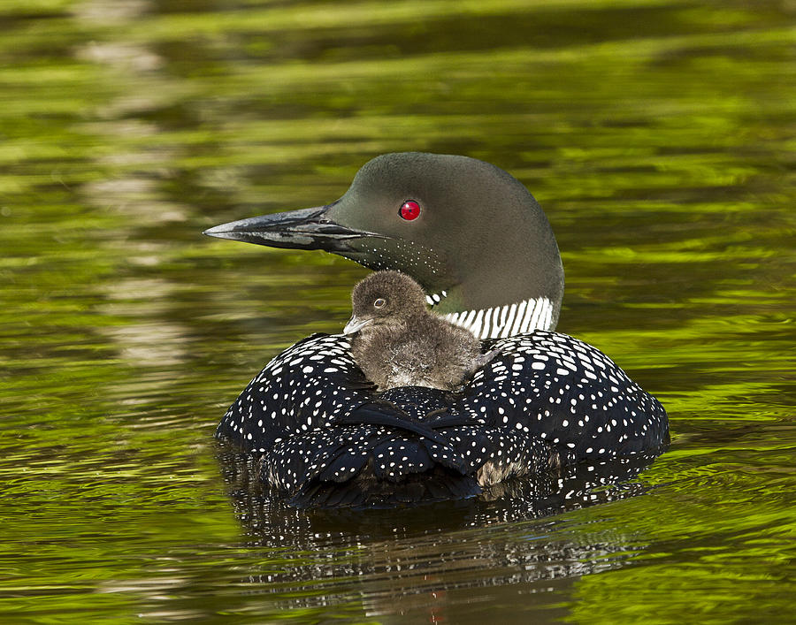 Common Loon Photograph - Loon Chick Rides On A Parents Back by John Vose