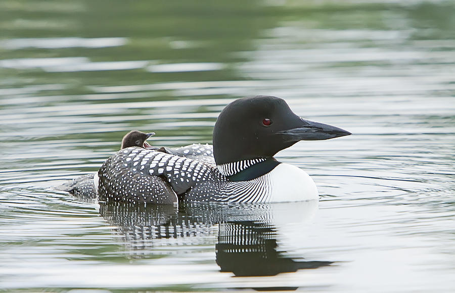 Common Loon Photograph - Loon Chick Rise And Shine by John Vose