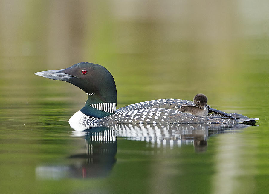 Common Loon Photograph - Loon Chick With Parent - Quiet Time by John Vose