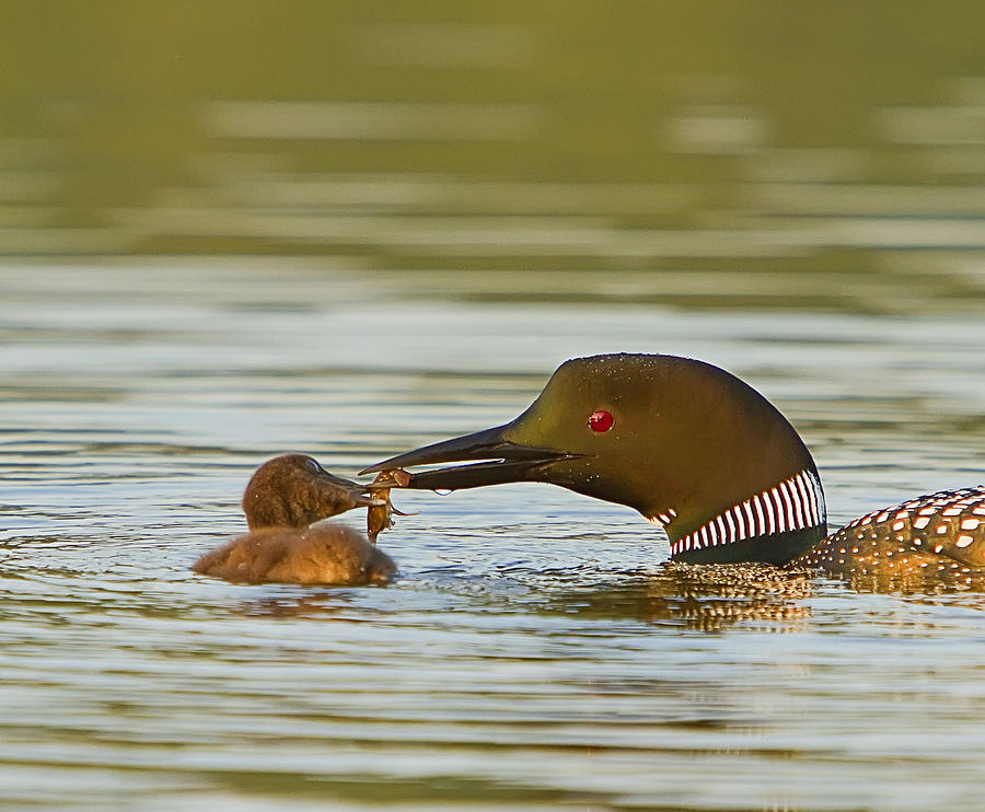 Loon Photograph - Loon Feeding Chick by John Vose