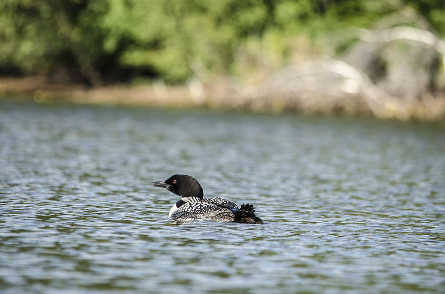 Loon In The Sun Photograph