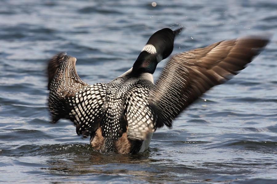 Acadia Photograph - Loon On Jordan Pond by Acadia Photography