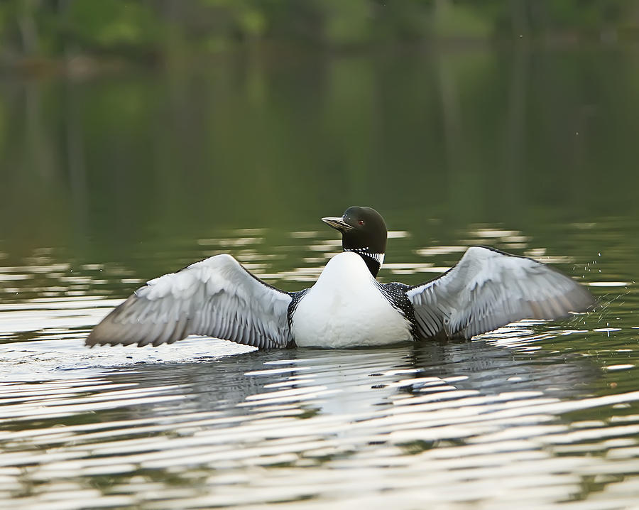 Common Loon Photograph - Loon Wing Spread - Drying Off by John Vose
