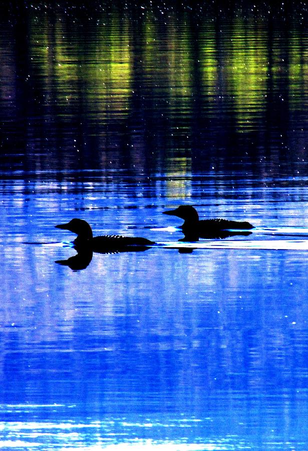 Loons Photograph - Loons In Pittsburg by Will Boutin Photos