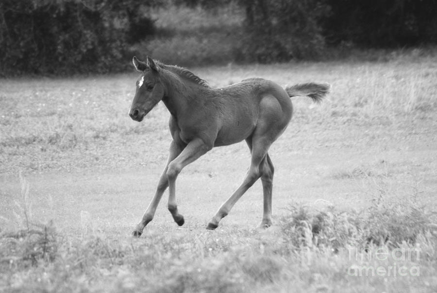 Filly Photograph - Loping Fun by Melissa Ahlers