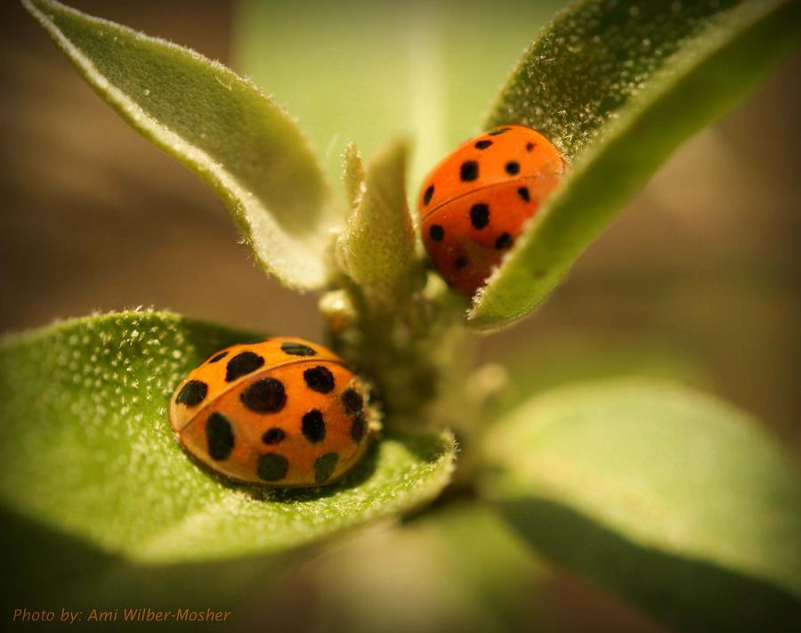 Ladybugs Photograph - Lord And Lady Bug by Ami Mosher