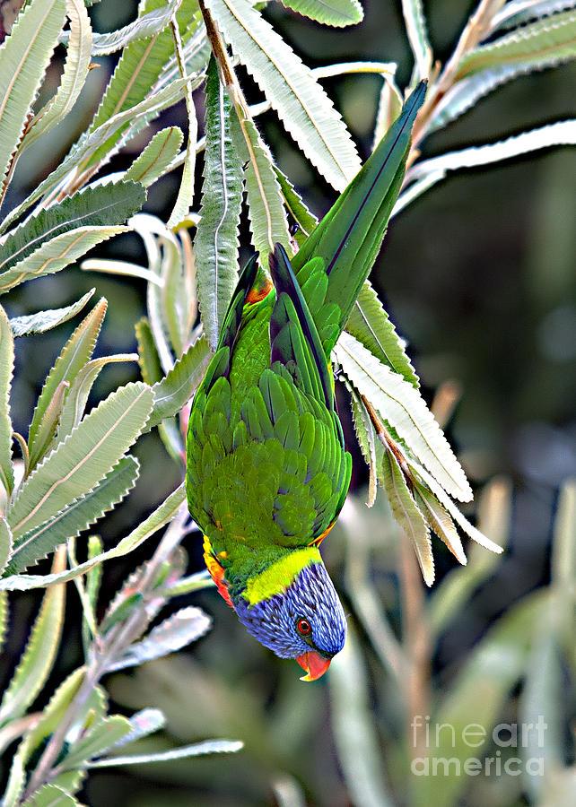 Bird Photograph - Lorikeet by David Benson