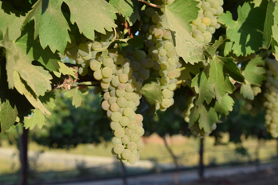 Lorimar White Wine Grapes Photograph