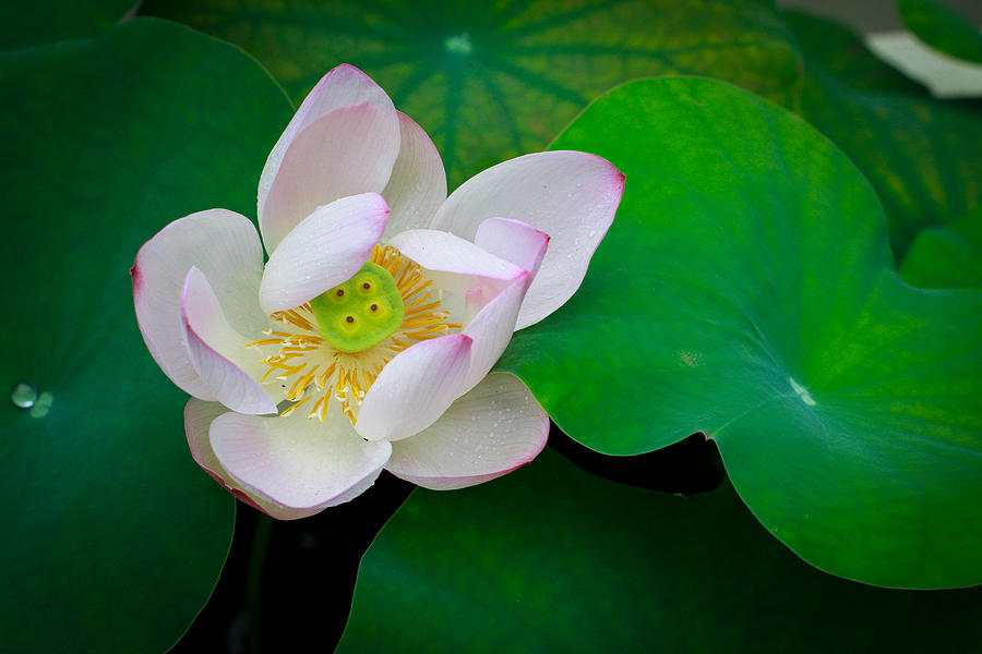 Lotus Photograph - Lotus 2 Singapore Flower by Donald Chen