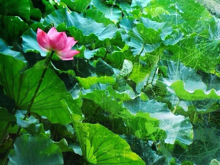 Lotus Bloom Digital Art - Lotus Bloom  by Natalya Karavay