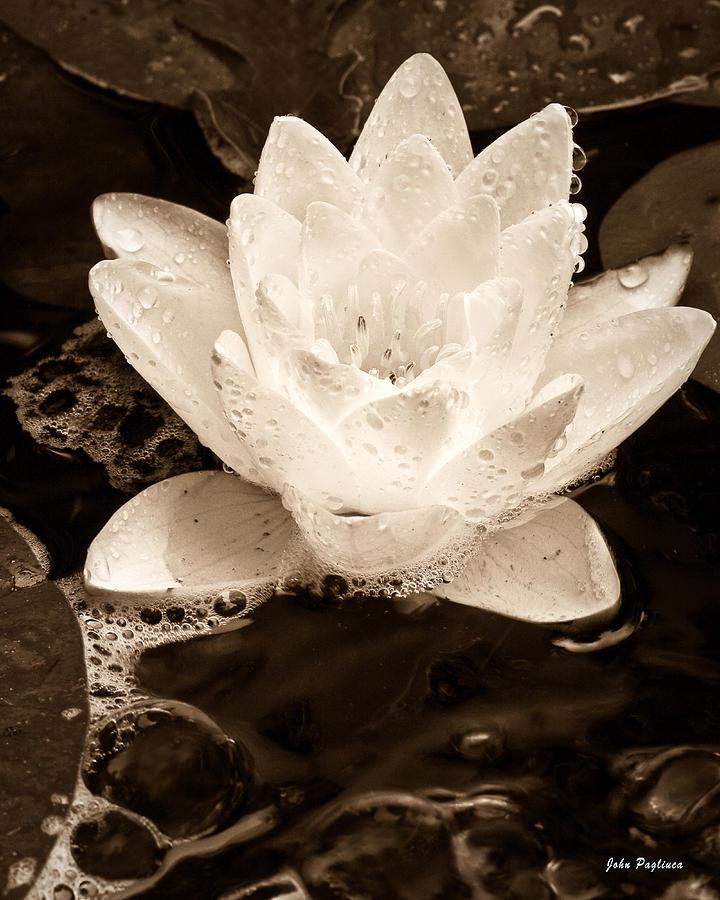 Aquatic Photograph - Lotus Blossom by John Pagliuca