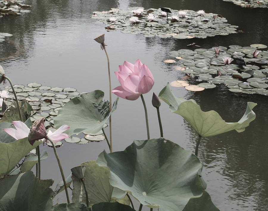Lotus Blossom Lily Pads By Mindful Photog