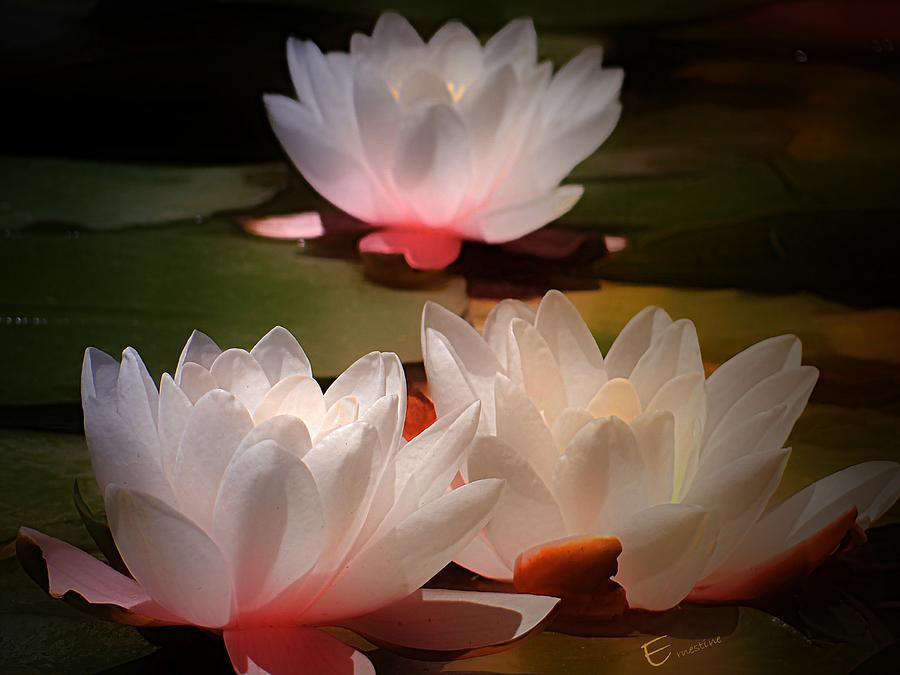 Lotus Flower 6 Photograph by Ernestine Manowarda