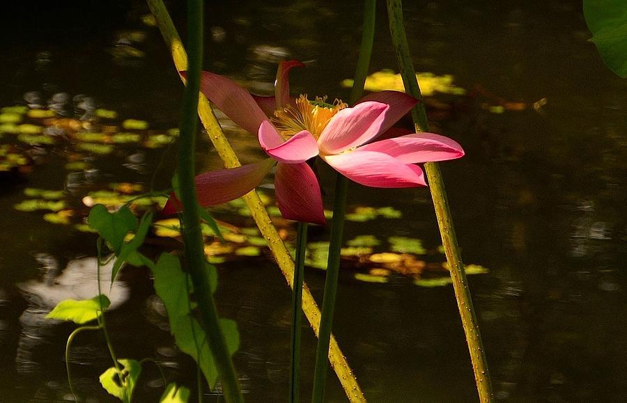 China Photograph - Lotus Flower At The West Lake by Yinguo Huang