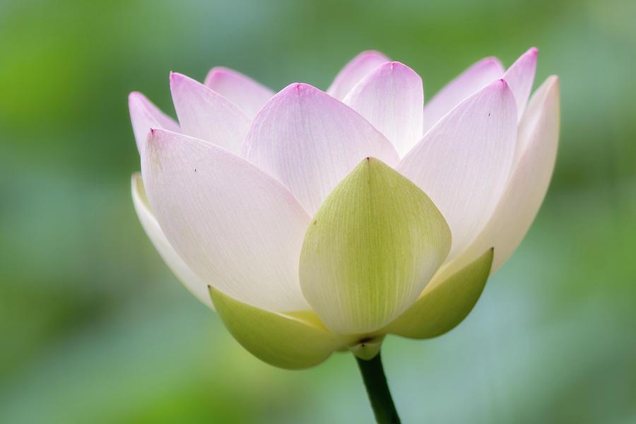 Lotus Flower Photograph by Koyaginomari
