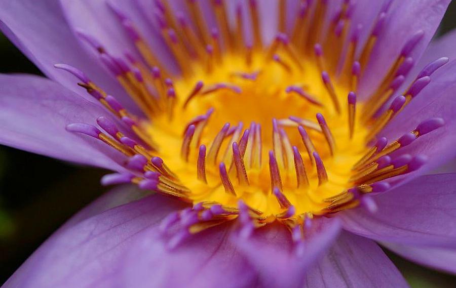 Lotus Photograph - Lotus In Bloom by Janet Hawkins