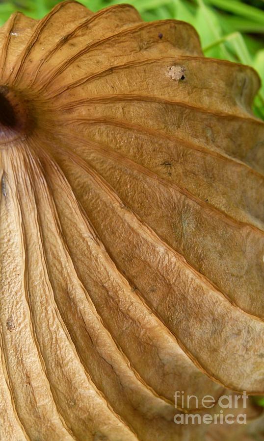 lotus leaf by Jane Ford