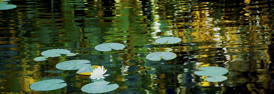 Flowers Photograph - Lotus Panorama by Michael Guirguis