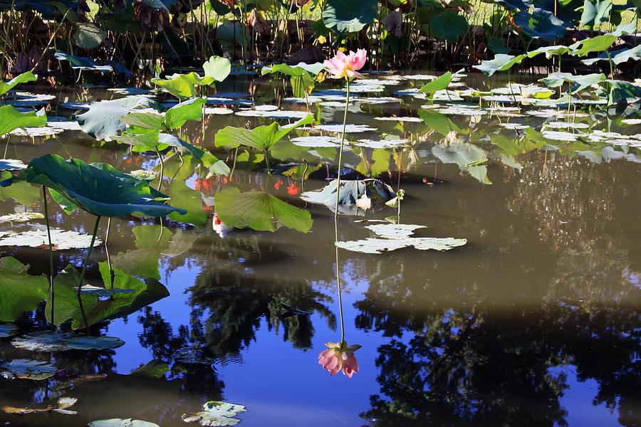 Garden Pond Photograph - Lotus Reflection by John Lautermilch