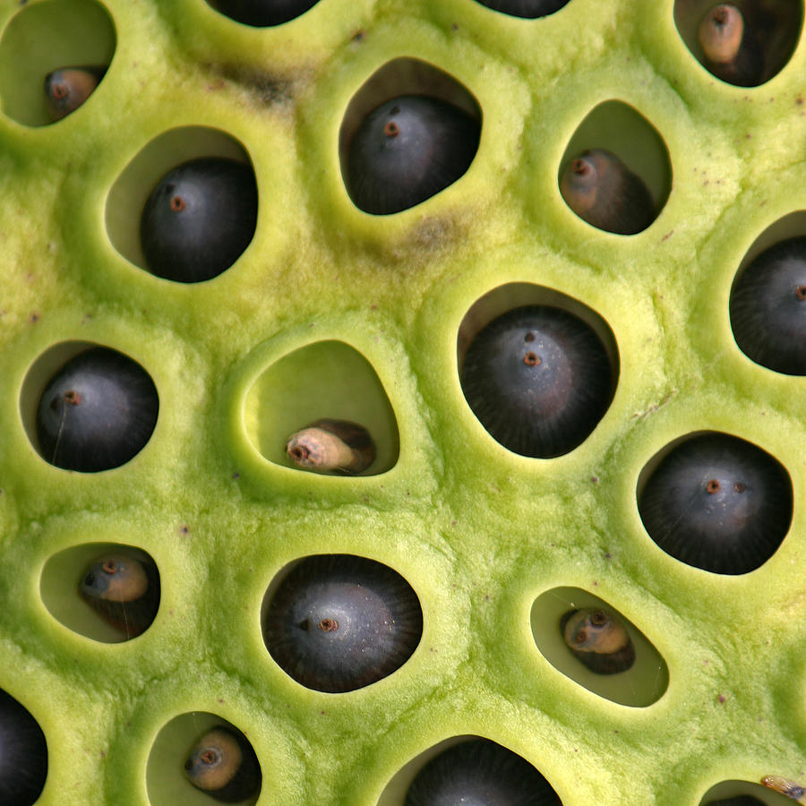 Nature Pattern Photograph - Lotus Seed Pod by Karen Lindquist