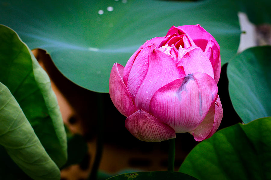 Lotus Photograph - Lotus Singapore Flower by Donald Chen