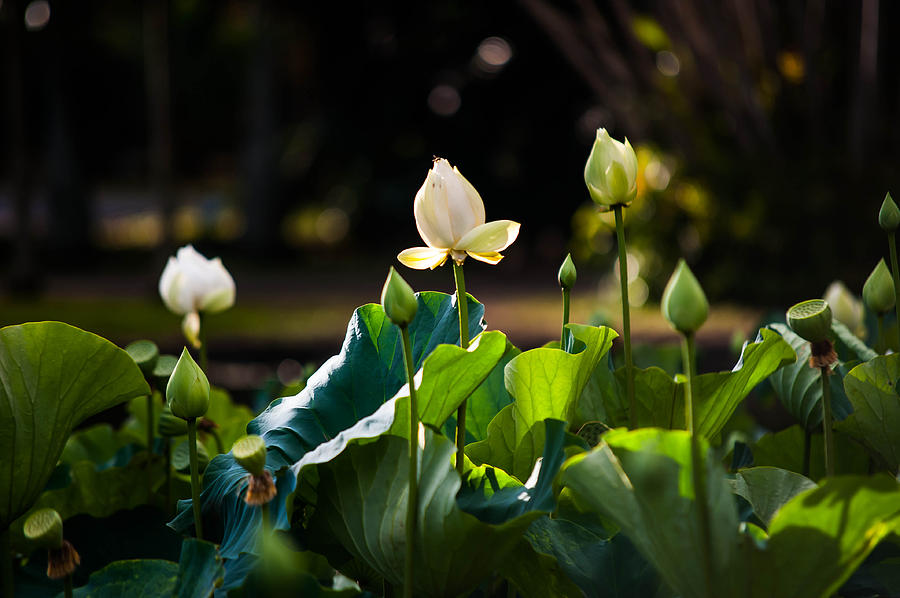 Mauritius Photograph - Lotuses In The Evening Light by Jenny Rainbow