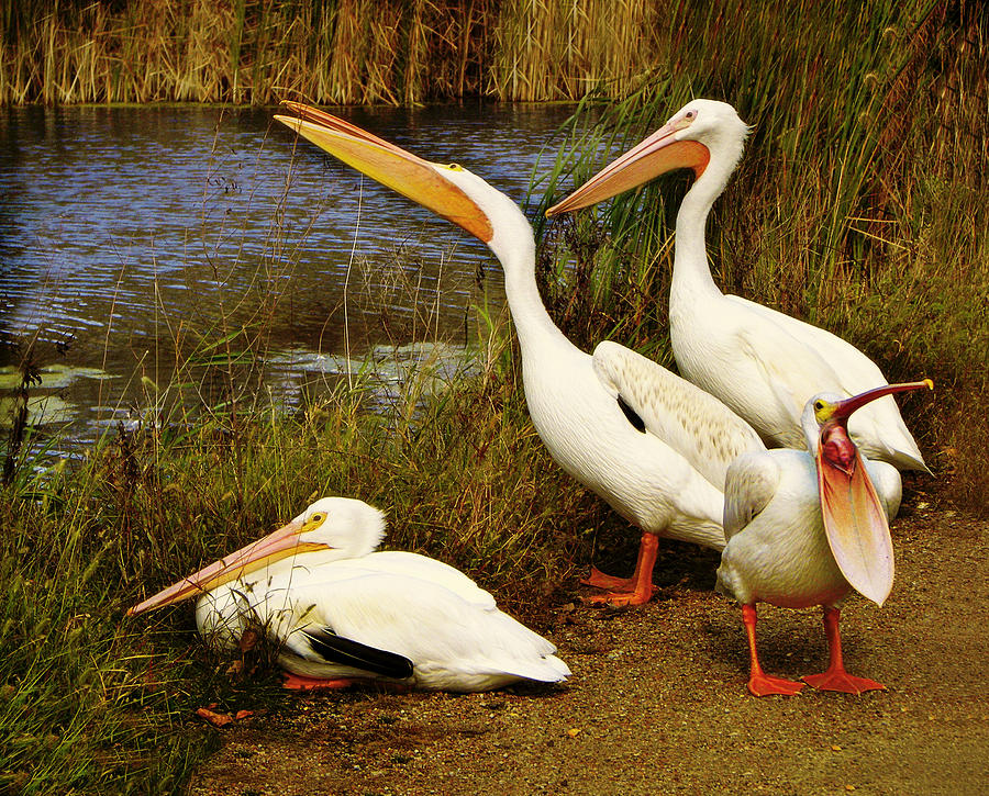 American White Pelicans Photograph - Loud Mouth by Nikolyn McDonald