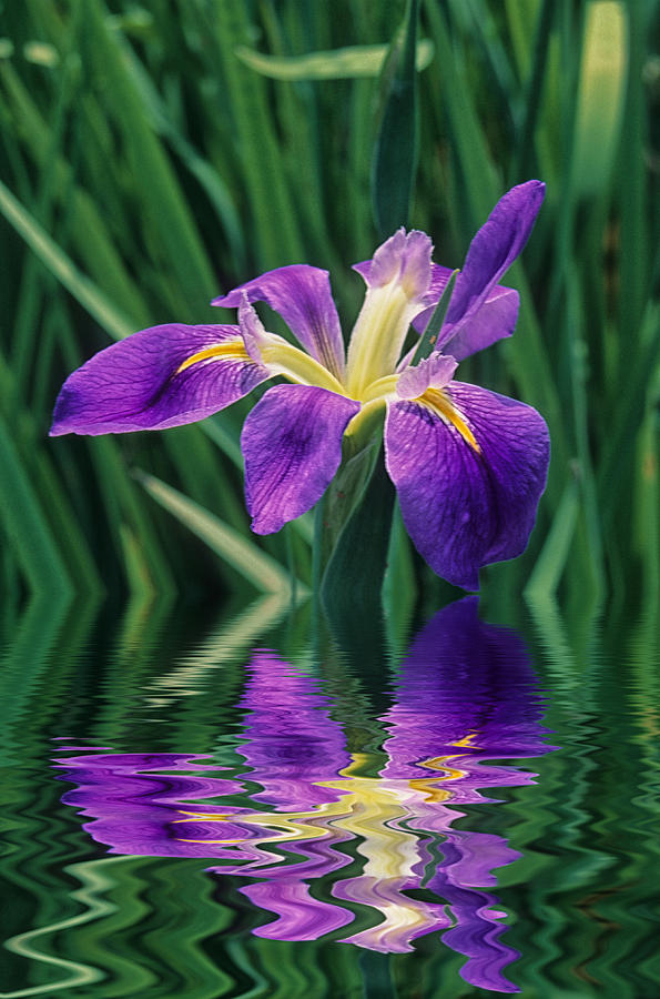 Louisiana Iris Photograph by Keith Gondron