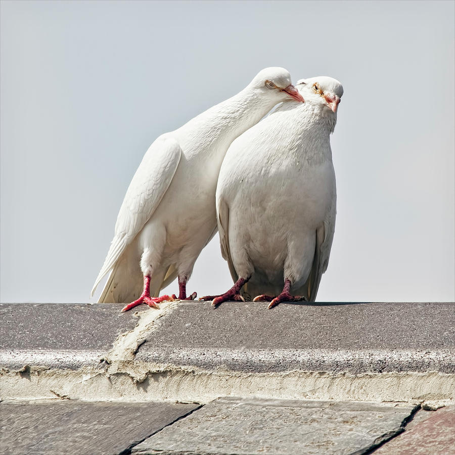 Love Birds Being Lovey Dovey Photograph by Blackcatphotos