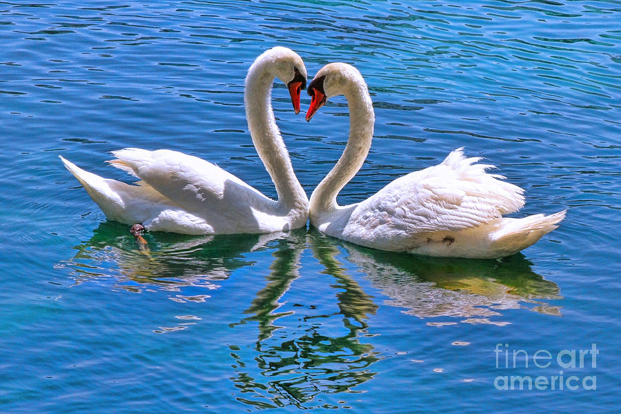 Swan Photograph - Love For Lauren On Lake Eola By Diana Sainz by Diana Sainz
