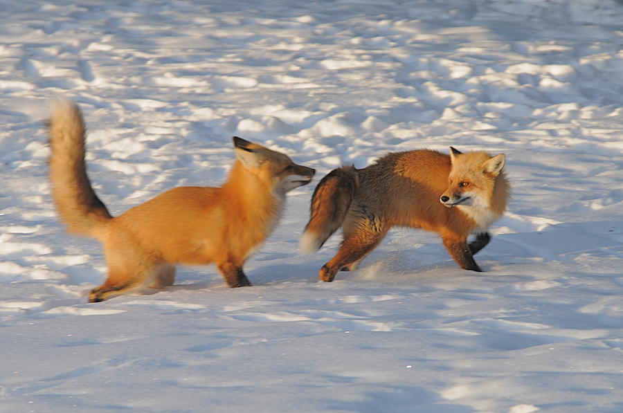 Red Foxes Photograph - Love In The Snow by Sandra Updyke