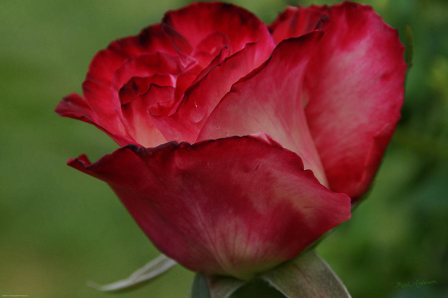 Love Is A Red Rose Photograph