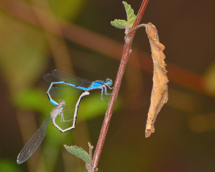 Insects Photograph - Love Is In The Air. by Old Pueblo Photography