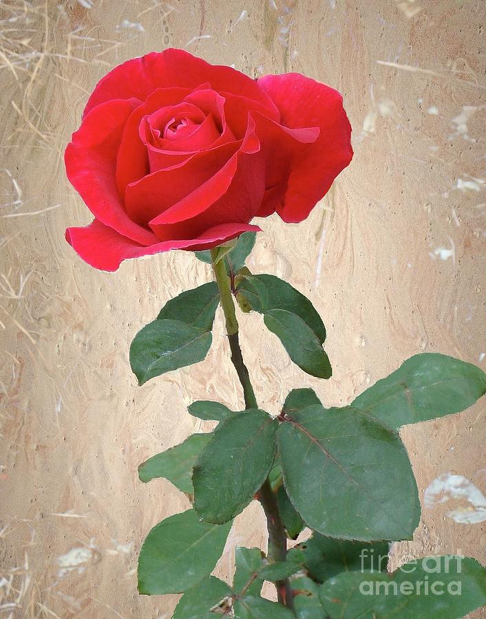 Red Rose Photograph - Love Is Like A Red Red Rose by Janette Boyd