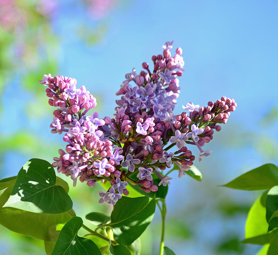 Lilac Photograph - Love My Lilacs by Lori Tambakis