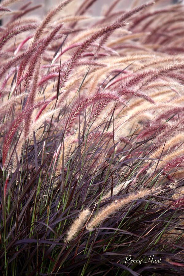 Love Purple Fountain Grass Photograph By Penny Hunt