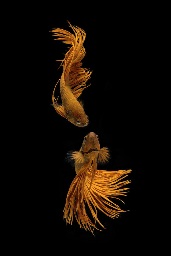 Fish Photograph - Love Story Of The Golden Fish by Ganjar Rahayu